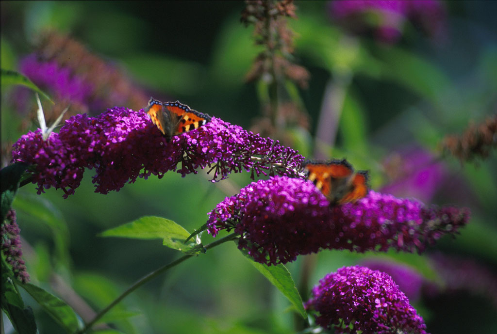 Butterfly Bush, Butterfly Bus Purple
